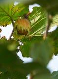Huzelnuts sur l'élevage d'arbre Photo libre de droits