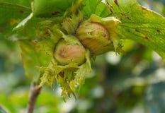 Huzelnuts sur l'élevage d'arbre Images stock