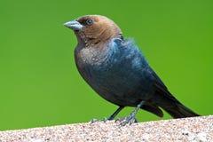 hövdad brun cowbird Arkivfoton