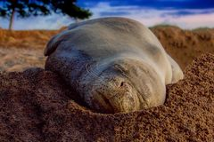 Hwaiian Monk Seal on the Beach royalty free stock images