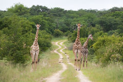 Hwange giraffe royalty free stock images