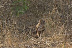 Hwk mit Haube Eagle im Wald Stockfotos