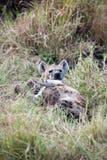 Hyäne 库存图片