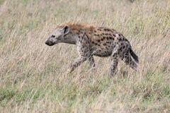 Hyäne Lizenzfreie Stockbilder