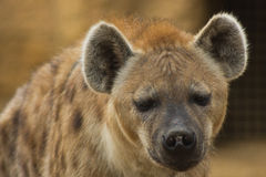Hyäne Stockbild
