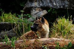 Hyäne Stockfotografie