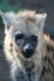 Hyäne Cub Stockfotos