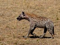 Hyäne, die auf das Gras geht Lizenzfreie Stockbilder
