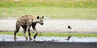 Hyäne, die auf Sambesi-Überschwemmungsgebiete geht Stockbilder