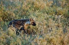 Hyäne, die durch Gras in Afrika sich anpirscht Lizenzfreies Stockfoto