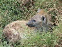 Hyäne, die im Gras liegt stockbild