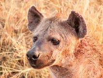 Hyäne, die zur Höhle von der Nachtjagd zurückgeht Lizenzfreies Stockbild