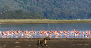 Hyäne jagt für Flamingos Nakuru See stockbild