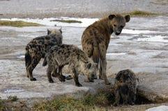 Hyäne und Junge Stockfoto