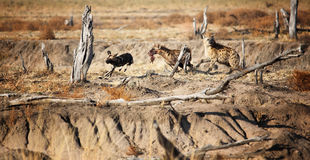 Hyäne und lycaon Stockbild