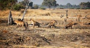 Hyänegruppe Stockbilder