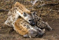 Hyänen Lizenzfreies Stockfoto
