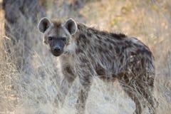 Hyänen Lizenzfreie Stockfotos
