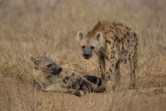 Hyänen-Familie nahe Nairobi Lizenzfreie Stockfotos