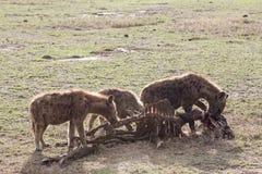 Hyänengruppe, die Opfer isst Lizenzfreies Stockfoto