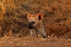 Hyänenjunges Lizenzfreies Stockbild
