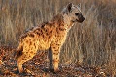 Hyänenjungsporträt Stockfotografie