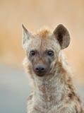 Hyäneportrait Lizenzfreies Stockfoto