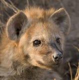 Hyänewelpe Stockfotografie