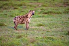 Hyène Photographie stock