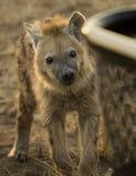 Hyène Photo libre de droits