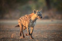 Hyène photos libres de droits