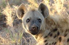 Hyène Images stock