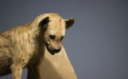 Hyène Image libre de droits