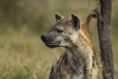 Hyène Afrique du Sud photographie stock