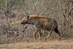 Hyène au parc national de Kruger image stock