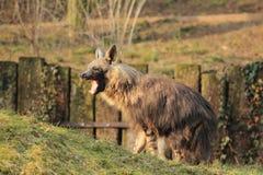 Hyène brune de baîllement image stock