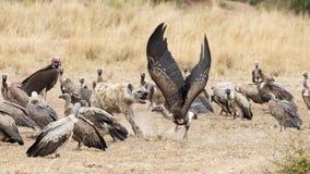 Hyène chassant des vautours à partir d'une mise à mort Image libre de droits