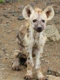 Hyène de bébé Photographie stock libre de droits