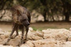 Hyène de Brown à l'abreuvoir Photographie stock libre de droits