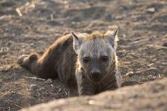 Hyène de Gevlekte, hyène repérée, crocuta de Crocuta photo stock