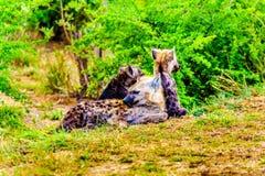 Hyène de mère avec deux jeunes hyènes en parc national de Kruger Photo libre de droits