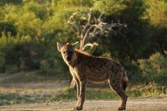 Hyène de regarder Photos stock