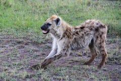Hyène en Afrique Photographie stock