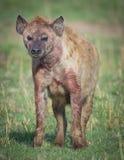 Hyène ensanglantée images stock