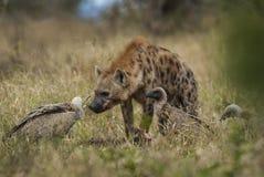 Hyène mangeant, Afrique image stock