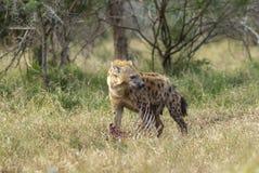 Hyène mangeant, Afrique photo libre de droits