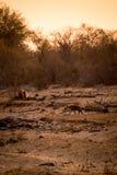 Hyène marchant dans la savane pendant le coucher du soleil, parc de Kruger, Afrique du Sud photos libres de droits