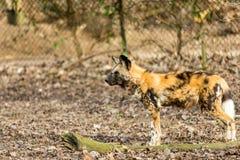Hyène observant une cible dans le terrain aride avec un fond brouillé photographie stock libre de droits