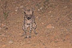 Hyène rayée faisant pipi Photo libre de droits