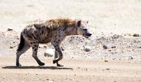 Hyène repérée Photos stock